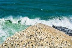 Gannet-Kolonie auf Klippe lizenzfreie stockfotografie