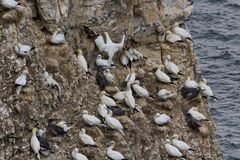Gannet colony Royalty Free Stock Image