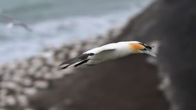 Gannet latanie przy wybrzeżem Muriwai Obraz Stock