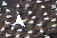 Gannet latanie przy wybrzeżem Muriwai Obraz Royalty Free