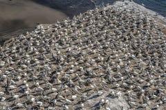 Gannet-Lebensraum stockbild