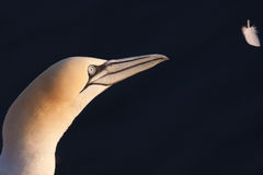 Gannet looking at feather Stock Photography
