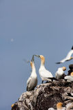 Gannet Love in Stock Images