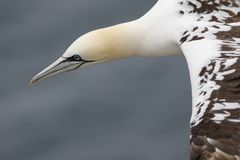 Gannet, male and female courting Stock Image