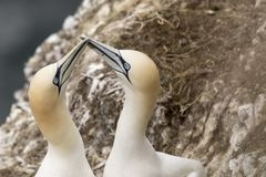 Gannet, male and female courting. And flying royalty free stock image