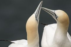 Gannet, male and female courting. And flying royalty free stock photography