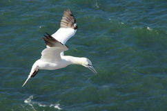 Gannet in mid air. Stock Image