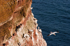 Gannet (Morus bassanus) Royalty Free Stock Images