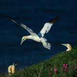 Gannet (Morus bassanus) Royalty Free Stock Photos