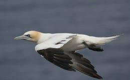 Gannet Morus bassanus in flight. Stock Photos