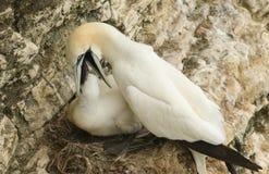 Gannet Morus bassanus karmi swój ślicznego kurczątka na gniazdeczku na krawędzi falezy w UK obraz stock