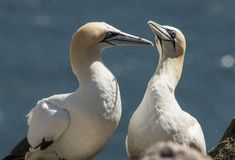Gannet, Morus bassanus Morza i oceanu ptak fotografia stock