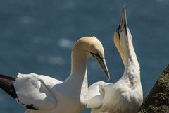 Gannet, Morus bassanus Morza i oceanu ptak obraz royalty free