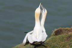 Gannet (Morus bassanus) Stock Image