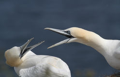 Gannet Morus bassanus protecting their nesting space. Stock Photography