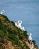 Gannet - Morus - Sulidae - Bempton Cliffs - North Yorkshire Stock Images