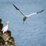 Gannet - Morus - Sulidae - Bempton-Klippen - North Yorkshire Lizenzfreies Stockfoto