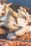 Gannet mother with its chick at Helgoland island in North Sea, G Stock Photography