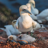 Gannet mother with its chick at Helgoland island in North Sea, G Royalty Free Stock Photos