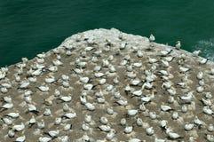 gannet murawai kolonii Obraz Stock