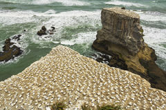 Gannet Muriwai海滩的奥克兰新西兰鸟殖民地 免版税库存照片