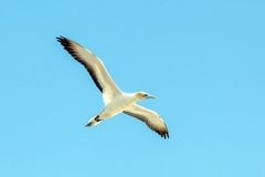 Gannet at Muriwai Beach, Auckland, New Zealand Royalty Free Stock Image