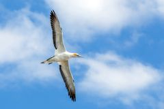 Gannet at Muriwai Beach, Auckland, New Zealand. Gannet Flying in Blue Sky and Cloud at Muriwai Beach, Auckland, New Zealand Royalty Free Stock Photo