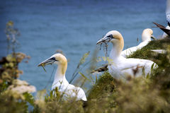 Gannet na nadmorski Zdjęcie Royalty Free