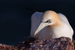 Gannet on a nest Stock Images