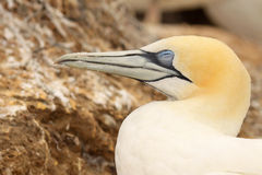 Gannet On Nest Stock Photography