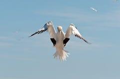 Gannet nordico di sbarco Fotografie Stock