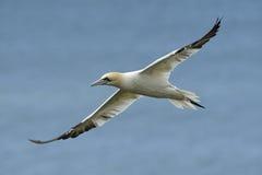 Gannet nordico durante il volo Fotografie Stock Libere da Diritti