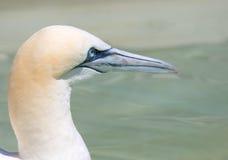 Gannet nordique Photographie stock libre de droits