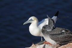 Gannet nordique (bassanus de Morus) images stock