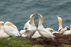 Gannet nordique (bassanus de Morus) Photos stock