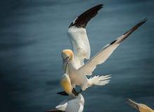 Gannet nordique de atterrissage Images libres de droits