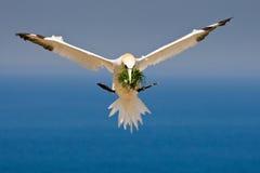 gannet północny Zdjęcie Royalty Free