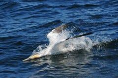 Gannet północny pikowanie Zdjęcie Stock