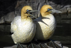 Gannet pair Royalty Free Stock Photography