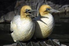 gannet para Fotografia Royalty Free
