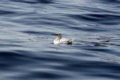 Gannet perdió en el mar Fotografía de archivo libre de regalías