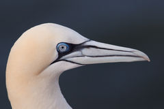 Gannet portrait Stock Photography