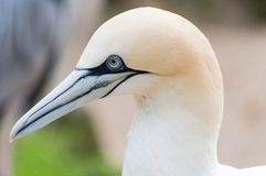 Gannet portrait Stock Images