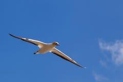 Gannet przy Muriwai plażą, Auckland, Nowa Zelandia Fotografia Royalty Free