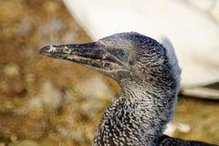 Gannet ptaki w Bonaventure wyspie zdjęcie stock