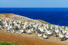 Gannet ptaki w Bonaventure wyspie obraz stock