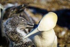 Gannet ptaki w Bonaventure wyspie obrazy royalty free