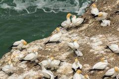 Gannet Ptasia kolonia przy Muriwai plażą Auckland Nowa Zelandia Fotografia Royalty Free