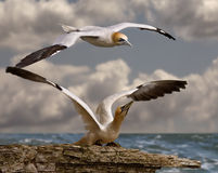 Gannet ready for take off Royalty Free Stock Photo