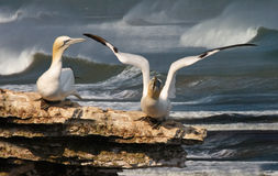 Gannet ready to go. A female Northern gannet warches as her mate prepares to take off Stock Images